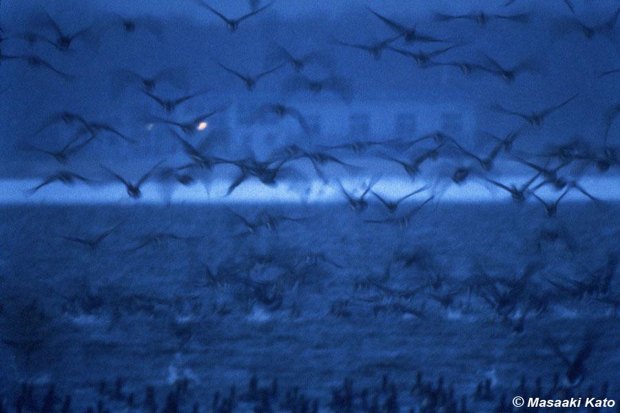 撮影:1992年3月21日 雪の中のヒシクイ/ウトナイ湖