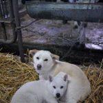 牛舎の子犬