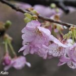 勝浦の河津桜