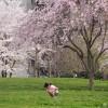 櫻の樹の下には……ダイオキシンが埋まつてゐる!