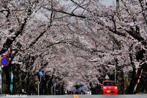桜並木が有名な夜ノ森地区