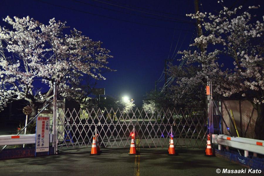 富岡町夜ノ森地区の桜 大部分は帰還困難区域 2017年4月13日撮影