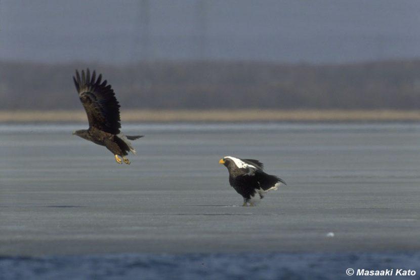 1991年3月24日 オジロワシを威嚇するオオワシ/ウトナイ湖