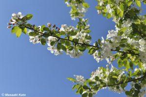 撮影:2020年4月10日 姫リンゴの白い花/荒川区東尾久あっぷるロード